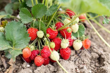 Erdbeeren für Marmelade_Foto: www.istockphoto.com/mervekarahan